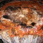 Albero pietrific.150 ml anni al Giethoorn DeOudeAarde