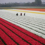 Campo di Tulipani a Primavera