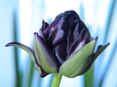 il misterioso tulipano nero